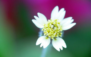White Flowers Wallpapers 6