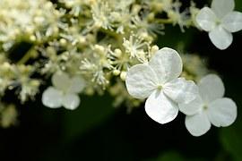 hydrangea-1125985__180