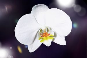 orchid-657456__340