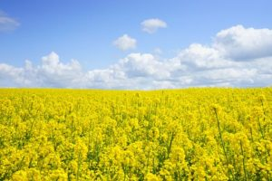 field-of-rapeseeds-474558__340