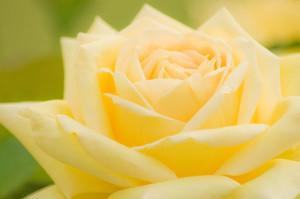 free-photo-rose-07